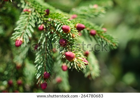 Beautiful blooming Pine branches  - stock photo