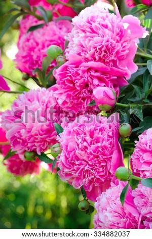 Beautiful Blooming  Pink Peony Bush - stock photo