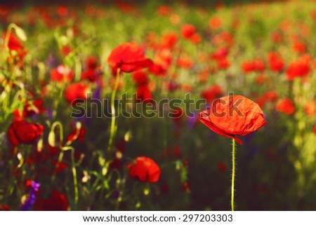 beautiful blooming poppies blurred background wallpaper - stock photo