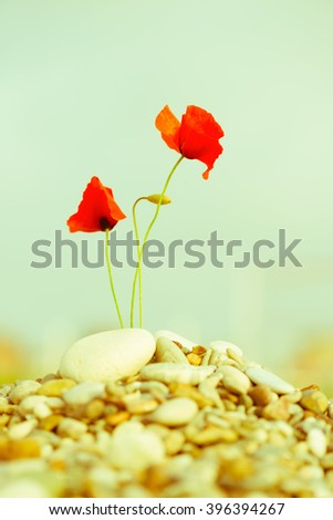 beautiful blooming red poppy flower on pebble, instagram style  - stock photo