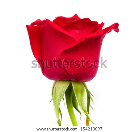 Beautiful blooming red rose isolated on white background. - stock photo