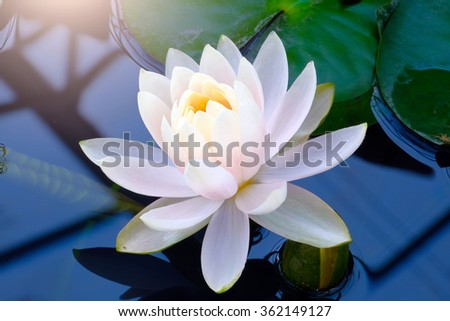 Beautiful blooming water lily - stock photo