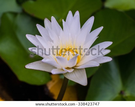Beautiful blooming white lotus in water - stock photo