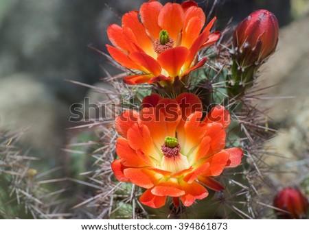 Beautiful blooming wild desert cactus flower - stock photo