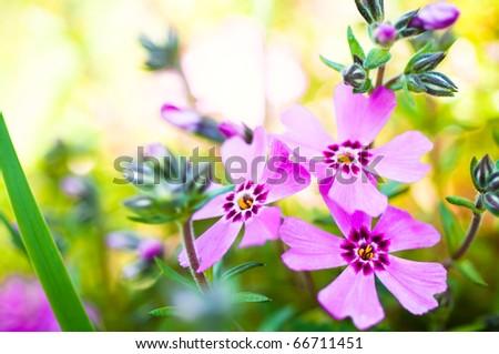 Beautiful blossom phlox - stock photo