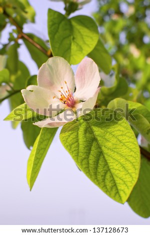 Beautiful blossom quince flower - stock photo