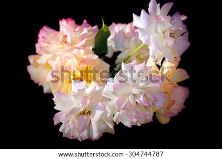 Beautiful blossoming chinese roses on black background - stock photo