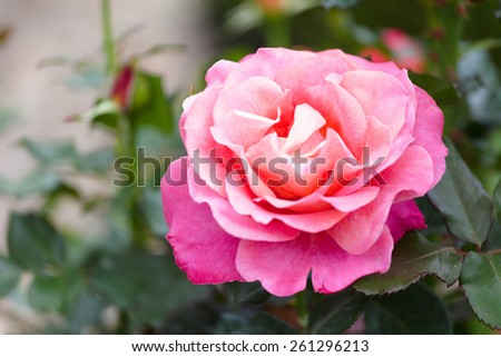 beautiful blossoming pink rose in a garden - stock photo