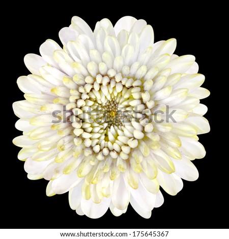 Beautiful Blossoming White Strawflower Isolated on Black Background - stock photo