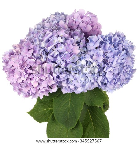 Beautiful blue and pink hydrangeas flower background. Natural color. Clipping path inside - stock photo