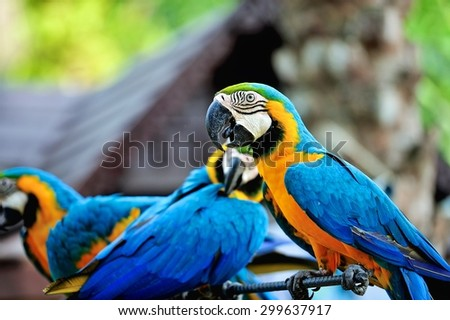 Beautiful blue and yellow macaw parrots or Ara ararauna - stock photo