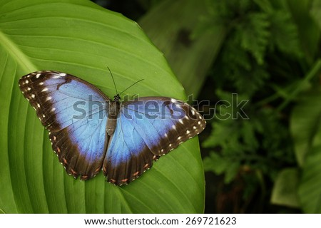 Beautiful blue butterfly Blue Morpho, Morpho peleides, sitting on green leaves, Costa Rica - stock photo