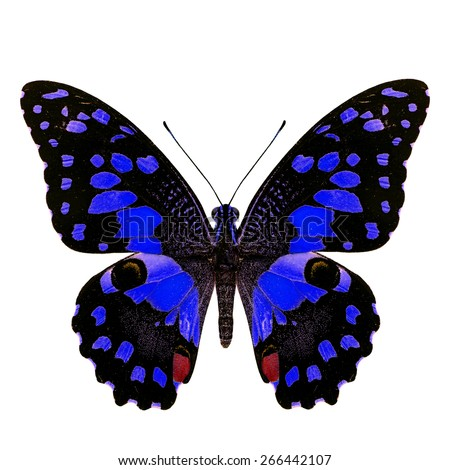 Beautiful blue butterfly, Papilio demoleus Linnaeus in fancy color profile isolated on white background, soft focus - stock photo