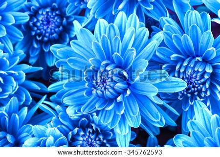 Beautiful blue chrysanthemum  flowers, close-up - stock photo
