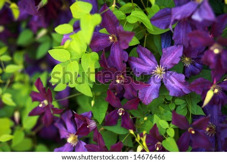 beautiful blue clematis flowers with green foliage - stock photo