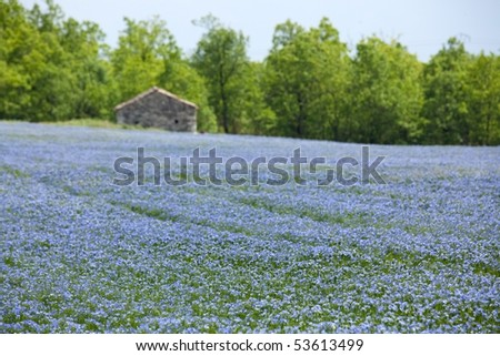 beautiful blue flax field landscape at spring, shallow depth of field - stock photo