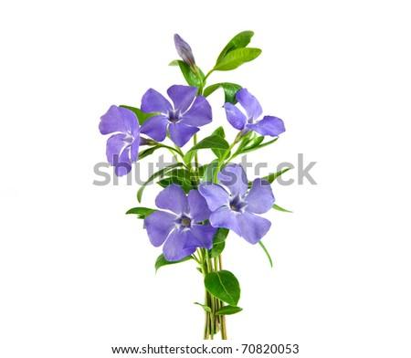 Beautiful blue flower isolated on white - stock photo