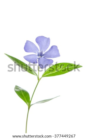 Beautiful blue flower periwinkle on white background - stock photo