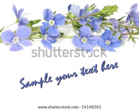 beautiful blue flowers (forget-me-not) isolated on white background (easy to remove text) - stock photo