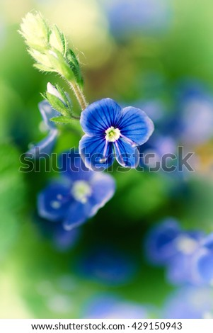 Beautiful blue flowers of forget-me-with a green background - stock photo