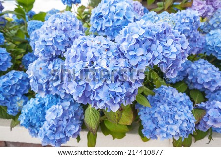 Beautiful blue hortensia blooming outside a house - stock photo
