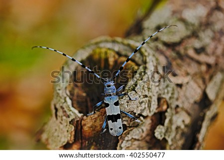 Beautiful blue incest with long feelers, Rosalia Longicorn, Rosalia alpina, in the nature green forest habitat, sitting on the tree trunk, Slovakia, longhorn beetle, longicorn - stock photo