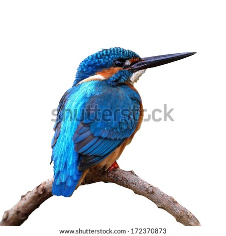 Beautiful blue Kingfisher bird, male Common Kingfisher (Alcedo atthis), sitting on a branch, back profile, isolated on white background - stock photo