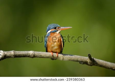 Beautiful blue Kingfisher bird on a branch - stock photo