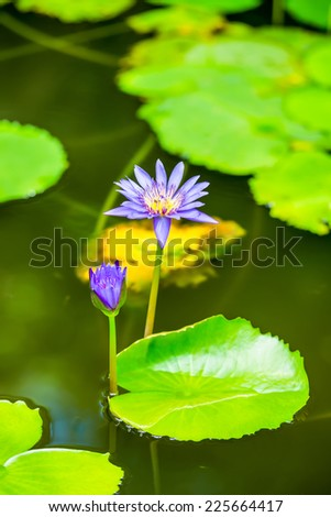 beautiful blue lily against the water and green leaves - stock photo