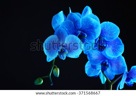 Beautiful blue orchid flower on black background - stock photo