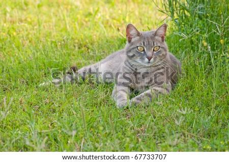 Beautiful blue tabby kitty cat in green grass - stock photo