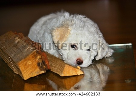 Beautiful bolognese puppy, 7 weeks old - stock photo