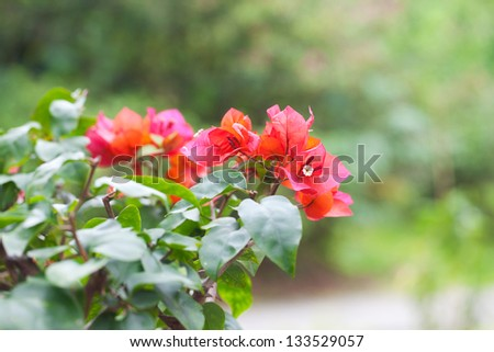 beautiful bonsai bougainvillea in a botanical garden - stock photo
