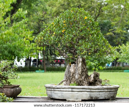 beautiful bonsai in the garden - stock photo