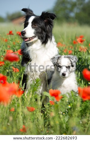 Beautiful Border Collie and puppy posing in a red poppy  - stock photo