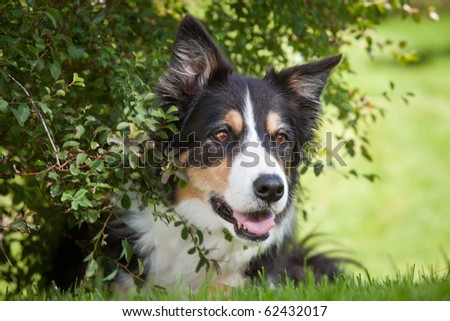 Beautiful Border Collie is hiding in Bush - stock photo