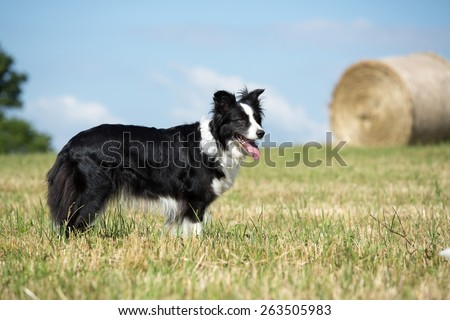 Beautiful Border Collie posing in the meadow - stock photo