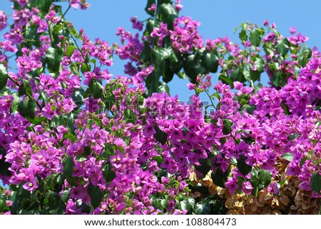 Beautiful bougainvillea flowers on blue sky background - stock photo