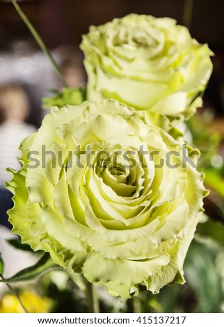 Beautiful bouquet of green roses. Close up photo. Birthday gift. Holiday symbol. Vibrant colors. - stock photo