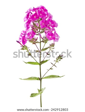 Beautiful bouquet of phlox on a white background - stock photo