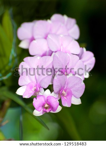 Beautiful bouquet of Thai Angle, Compact Dendrobium orchid in tropical garden, shallow depth of field. - stock photo