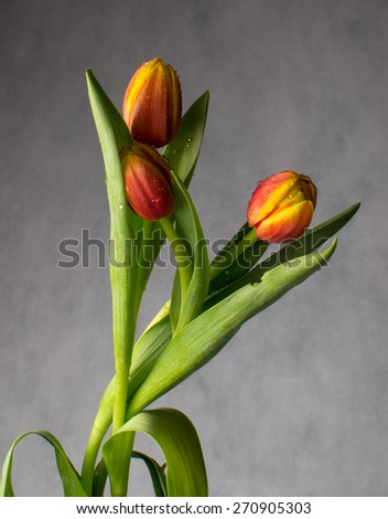 beautiful bouquet of tulips in drops of water on a dark background - stock photo