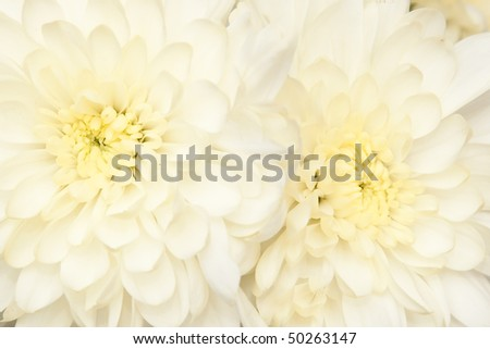 beautiful bouquet with  chrysanthemum, background - stock photo