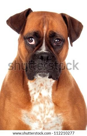 Beautiful Boxer dog isolated on white background - stock photo