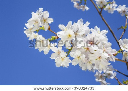 Beautiful branch of an apple tree with white blossoms on a clear blue sky background - stock photo