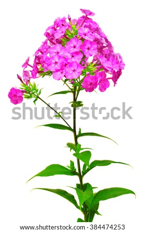 Beautiful branch of phlox flowers with leafs isolated on white background - stock photo