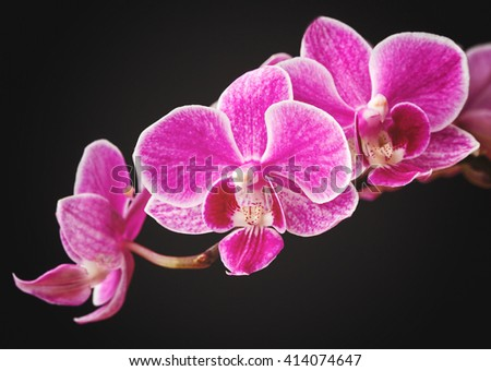 Beautiful branch of pink orchids isolated on a black background - stock photo