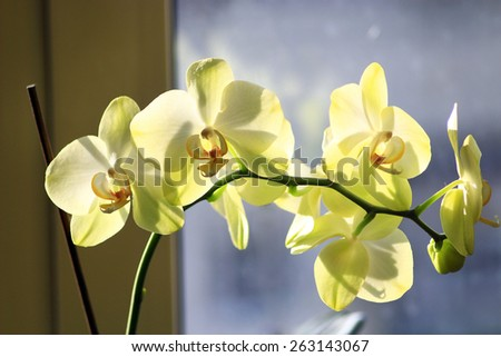 beautiful branch of the blossoming yellow orchid on the background of sky - stock photo