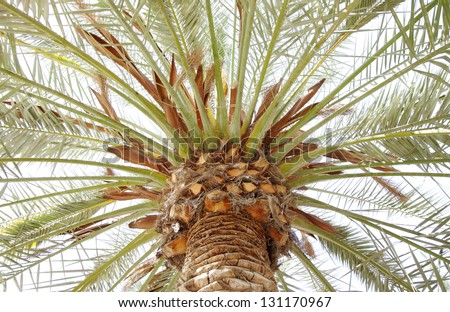 Beautiful branch spreading out in a date palm trees - stock photo