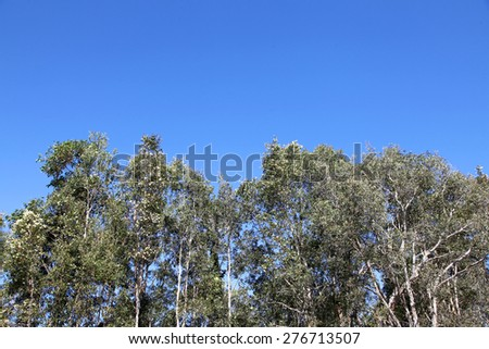 beautiful bright blue sky with green gum trees as bottom backdrop - stock photo
